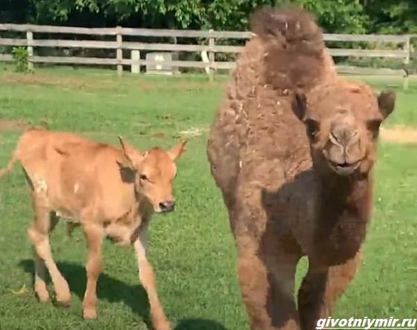 История-о-верблюжонке-который-отчаяно-искал-друга-и-нашёл-5