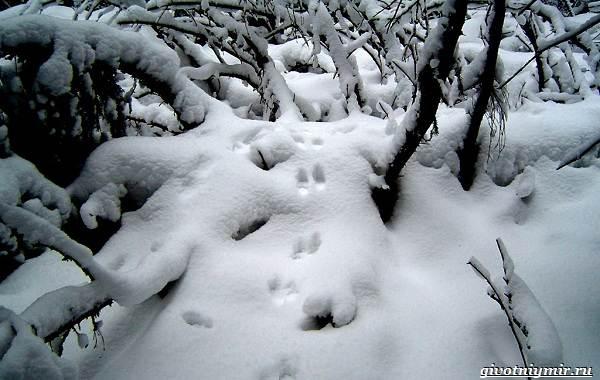 Охота-зимой-на-разных-зверей-и-её-особенности-11
