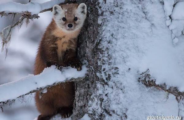 Охота-зимой-на-разных-зверей-и-её-особенности-12