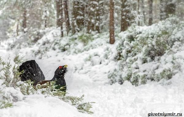 Охота-зимой-на-разных-зверей-и-её-особенности-8