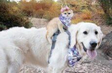 История о кошке, которая обожает кататься верхом на собаке