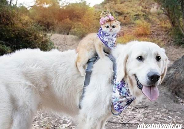История-о-кошке-которая-обожает-кататься-верхом-на-собаке-1