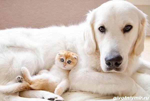 История-о-кошке-которая-обожает-кататься-верхом-на-собаке-3