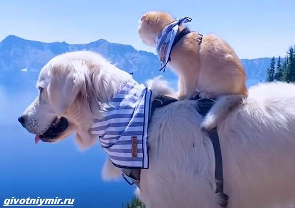 История-о-кошке-которая-обожает-кататься-верхом-на-собаке-4