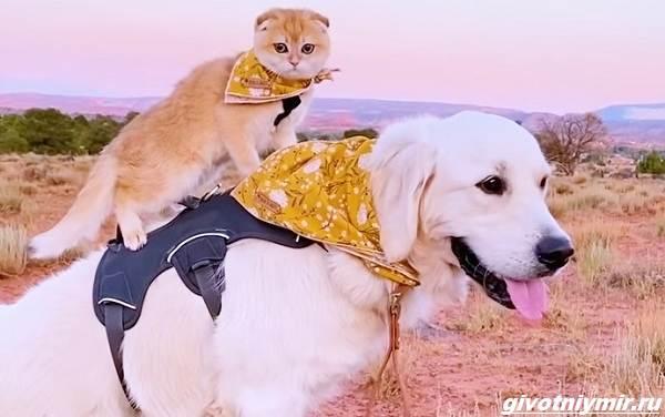 История-о-кошке-которая-обожает-кататься-верхом-на-собаке-5