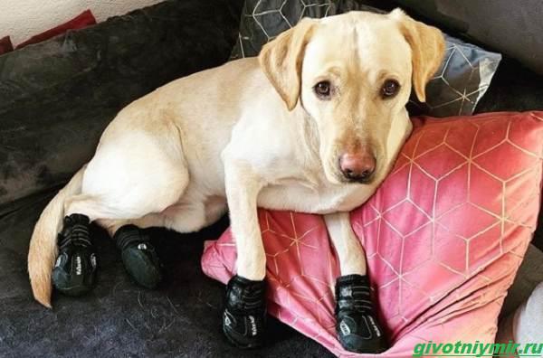История-о-собаке-которая-обожает-ходить-по-дому-в-носочках-1