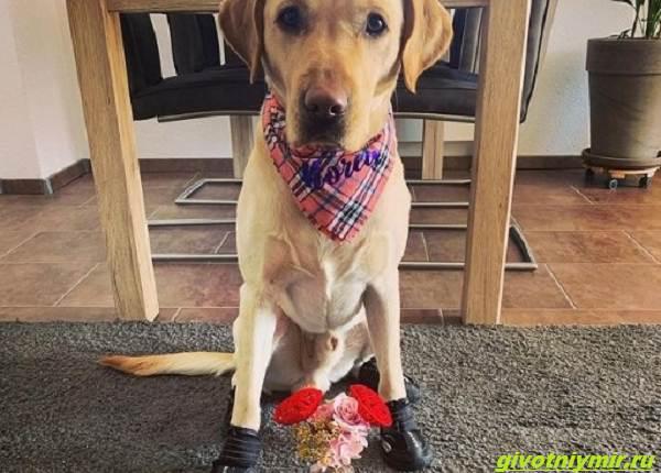 История-о-собаке-которая-обожает-ходить-по-дому-в-носочках-5