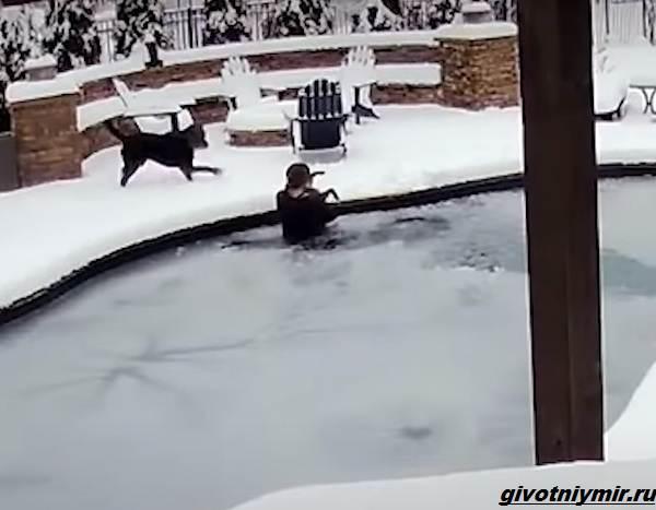 История-о-собаке-упавшей-в-ледяной-бассейн-2