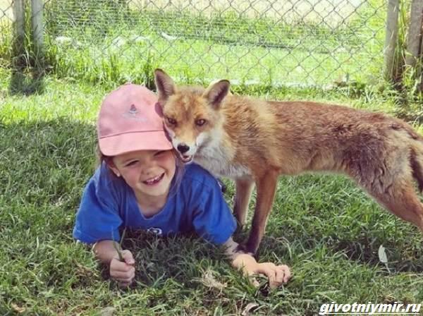 История-о-спасённой-лисе-Ферги-которая-подружилась-с-маленькой-девочкой-1
