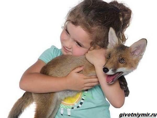 История-о-спасённой-лисе-Ферги-которая-подружилась-с-маленькой-девочкой-3