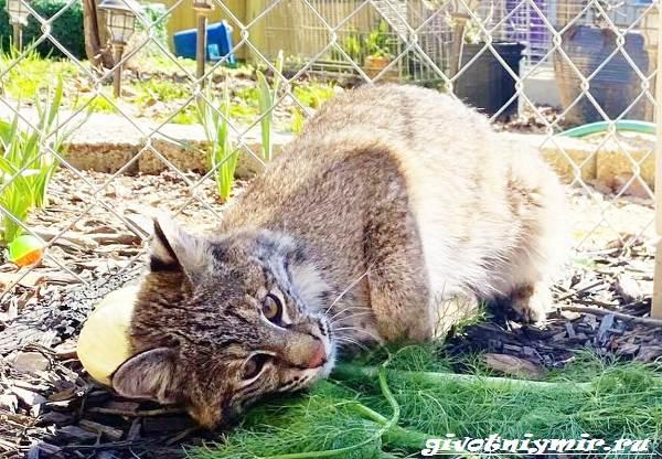 История-о-спасённой-рыси-которая-очень-любит-играть-с-овощами-1