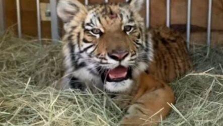 История о тигрёнке, которого держали на поводке, как собаку