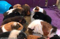 История о 88-ми морских свинках, на которых хозяйка тратит более 40 тысяч фунтов стерлингов в год