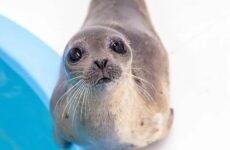 История о морском котике и тюлене, которых удалось спасти от гибели