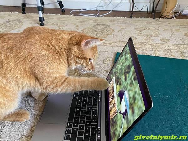 История-о-рыжем-коте-который-любит-смотреть-видео-2