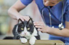 Демодекоз у кошек: симптомы, лечение и профилактика