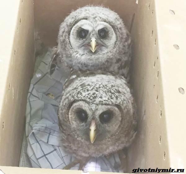 Две-истории-о-чудесном-спасении-малышей-енотов-и-крохотной-совы-6