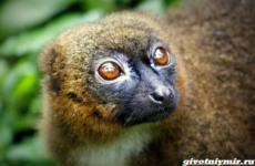 История о редком краснобрюхом лемуре, который появился в зоопарке Британии