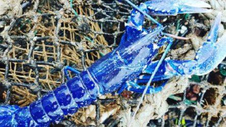 История о редком синем лобстере, который встречается один на два миллиона особей