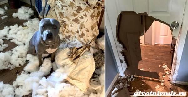 История-о-собаке-которая-после-ухода-хозяев-устроила-в-доме-погром-1