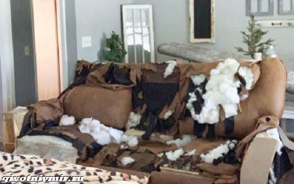 История-о-собаке-которая-после-ухода-хозяев-устроила-в-доме-погром-2