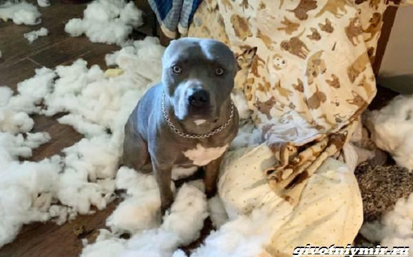 История-о-собаке-которая-после-ухода-хозяев-устроила-в-доме-погром-3