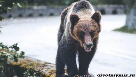 Две истории о том, как отважной девушке и собакам удалось прогнать медведей