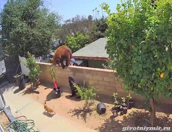 Две-истории-о-том-как-отважной-девушке-и-собакам-удалось-прогнать-медведей-2