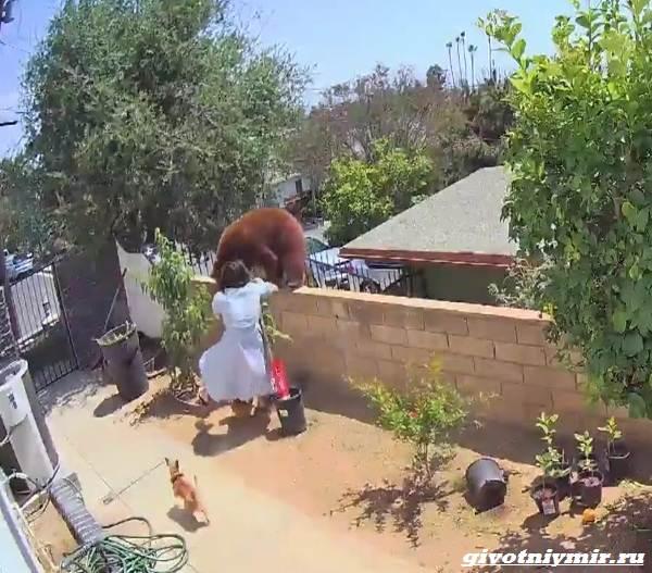 Две-истории-о-том-как-отважной-девушке-и-собакам-удалось-прогнать-медведей-3