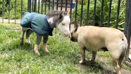 История о крохотной лошадке, которая по размерам не больше собаки