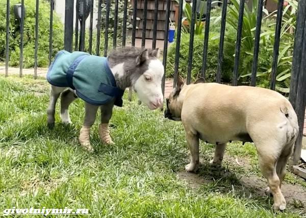 История-о-крохотной-лошадке-которая-по-размерам-не-больше-собаки-1