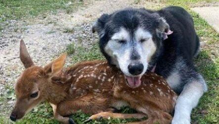 История о мужчине и собаке, которые помогли одинокому олененку