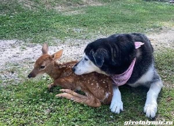 История-о-мужчине-и-собаке-которые-помогли-одинокому-олененку-3