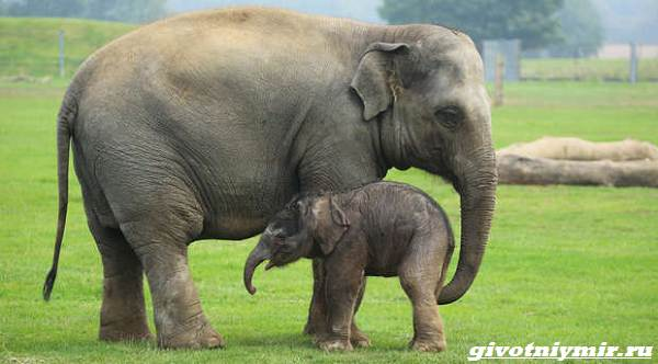 История-об-азиатских-слонах-которые-мигрировали-нанося-ущерб-жителям-Китая-1