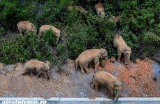 История об азиатских слонах, которые мигрировали, нанося ущерб жителям Китая