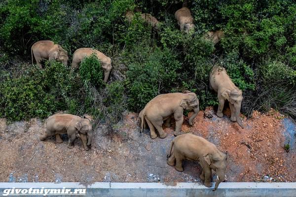История-об-азиатских-слонах-которые-мигрировали-нанося-ущерб-жителям-Китая-2
