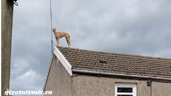 Две-истории-о-собаках-которые-бегают-по-крышам-и-сами-приходят-в-ветлечебницу-3