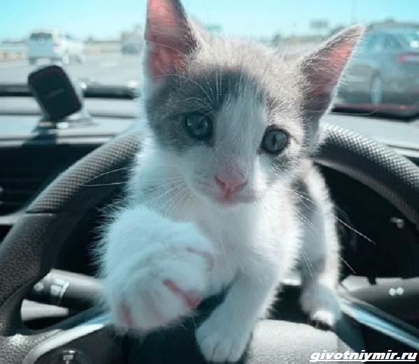 История-о-бывшем-бездомном-котенке-который-любит-сидеть-на-плече-у-хозяина-2