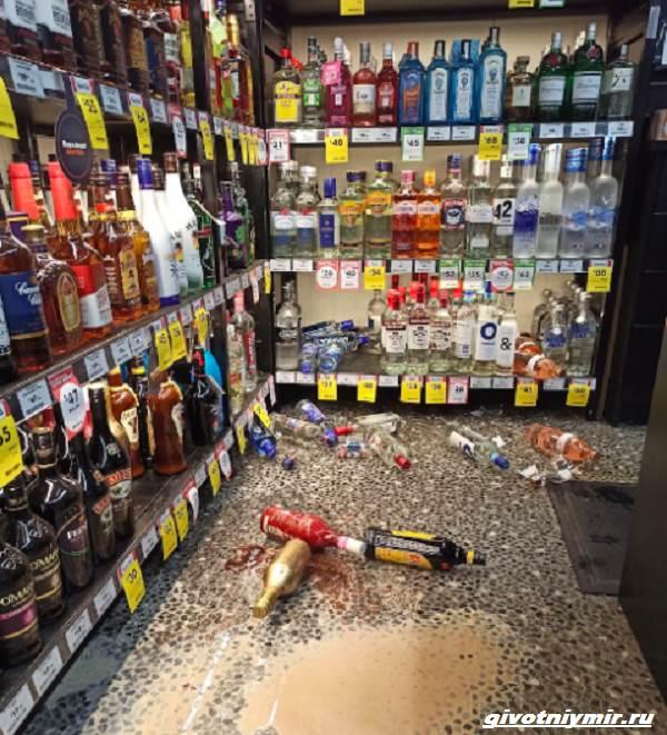 История-о-ехидне-которая-забралась-в-магазин-алкогольных-напитков-3