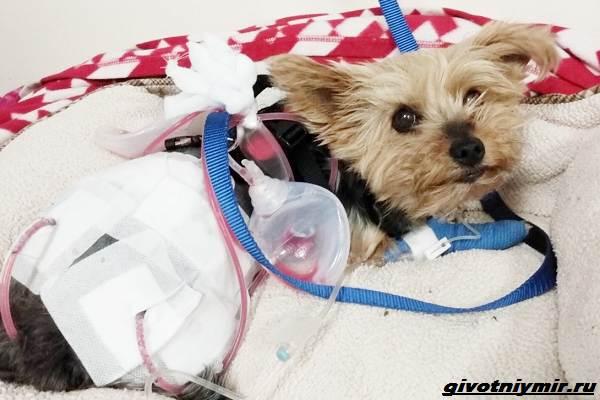 История-о-храброй-собаке-Мейси-которая-спасла-хозяйку-от-койота-2
