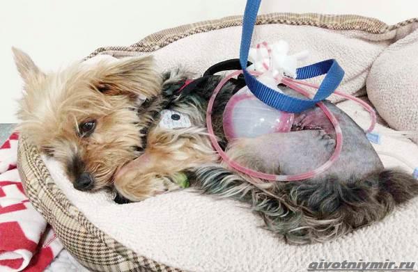 История-о-храброй-собаке-Мейси-которая-спасла-хозяйку-от-койота-4