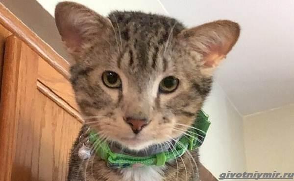 История-о-коте-у-которого-четыре-уха-4