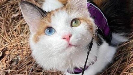 История о красивой трехцветной кошке с гетерохромией