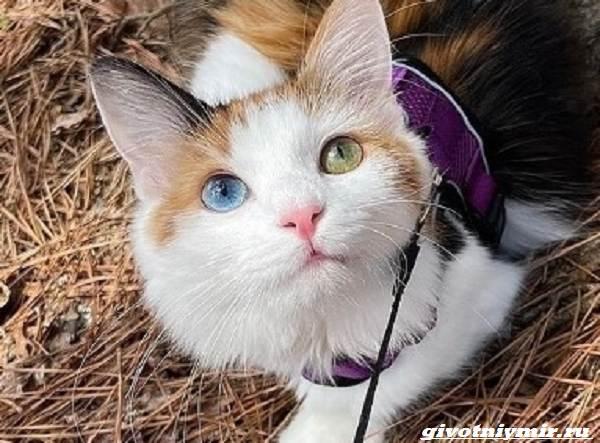 История-о-красивой-трехцветной-кошке-с-гетерохромией-1