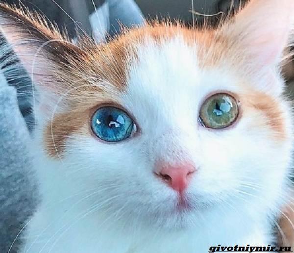 История-о-красивой-трехцветной-кошке-с-гетерохромией-2