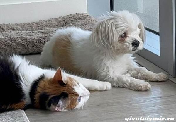 История-о-красивой-трехцветной-кошке-с-гетерохромией-3
