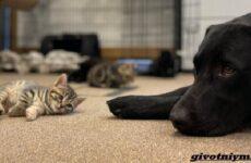 История о лабрадоре, который воспитывал семерых котят
