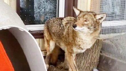История о раненом койоте, которому спасли жизнь