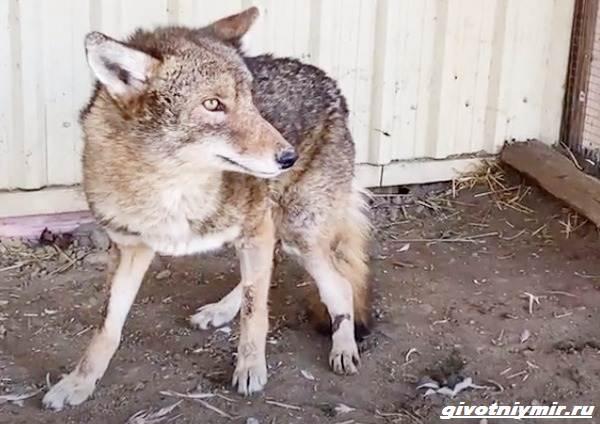История-о-раненом-койоте-которому-спасли-жизнь-2