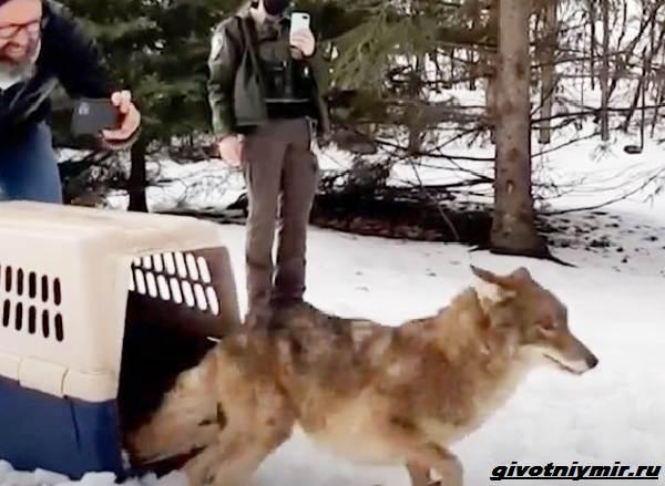 История-о-раненом-койоте-которому-спасли-жизнь-4